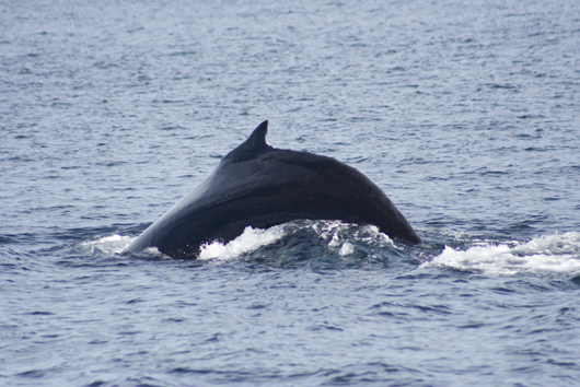 A Picture Of A Whale Taken While On A Boat Tour In Newfoundland and Labrador