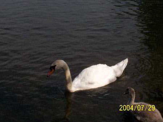 """A Picture Of One Of The Swans In Bowring Park in St. John's, Newfoundland and Labrador"""