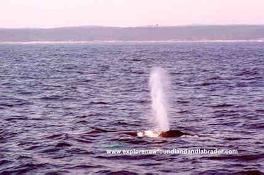 One of the many Whales seen on Boat Tours in Newfoundland and Labrador.